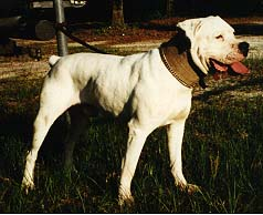 scott american bulldog breeaders in europe